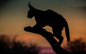 Картинка ночной, охотник, каракал