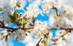 Картинка небо, цветы, дерево, голубое, весна, бутоны