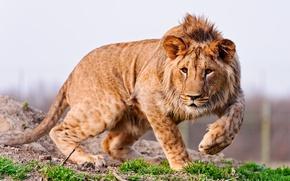 Обои грива, хищник, природа, молодой лев, Животное, ушки, трава, лапы