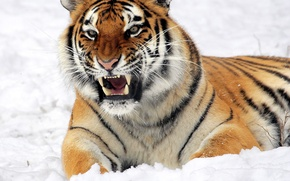 Картинка Зима, Тигр, Снег, Winter, Tiger, Snow, Siberian tiger, Ussuri tiger, Сибирский тигр, Уссурийский тигр