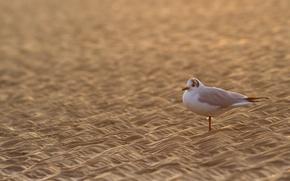 Обои чайка, птица, песок