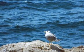 Картинка море, Чайка, на камне