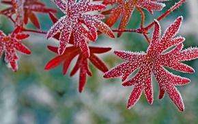 Картинка иней, листья, кристаллы, герань