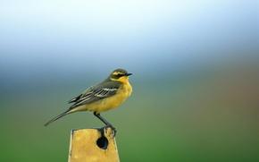 Картинка фон, птичка, желтая