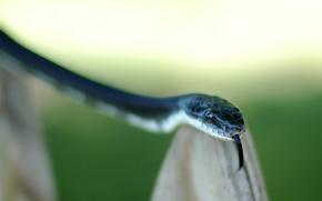 Картинка язык, зеленый, Змея