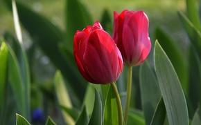 Картинка Весна, Spring, Red tulips, Красные тюльпаны