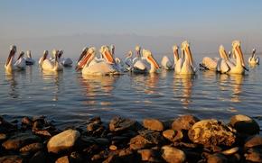 Картинка вода, птицы, камни, клюв, пеликан