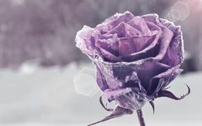 Картинка цветок, фиолетовый, снег, цветы, фон, widescreen, обои, wallpaper, flower, широкоформатные, background, snow, боке, полноэкранные, HD …