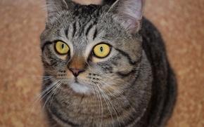 Картинка кот, взгляд, полосатый, желтоглазый