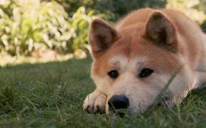Картинка трава, пес, Хатико