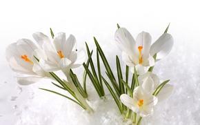 Картинка снег, крокусы, белые