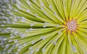 Обои цветок, Австралия, Квинсленд, остров Фрейзер, банксия, бэнксия