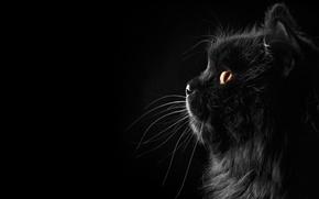 Картинка кошка, кот, усы, фон, черный, профиль, персидский