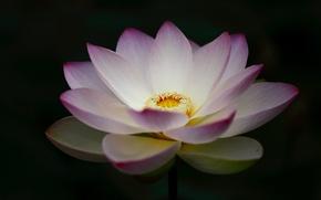 Картинка цветок, лотос, чёрный фон