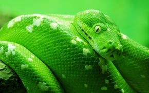 Картинка змея, животные, макро животный мир, змеи, природа