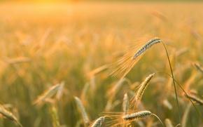 Картинка природа, Golden light, Barley Field