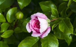 Обои роза, бутон, листья