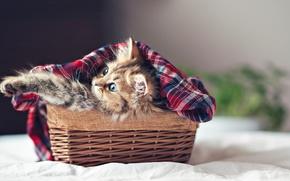 Обои кошка, cat, kitty, face, eyes, paws, Ben Torode, basket, kitten