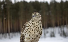 Картинка лес, птица, перья, стервятник