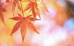 Картинка листья, ветка, красные, японский клен