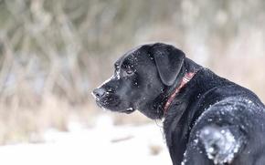 Картинка снег, ошейник, пёс
