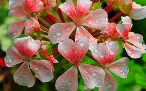 Картинка вода, капли, цветы, роса, лепестки, соцветие