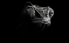 Обои черно-белый, ящер, Хамелеон