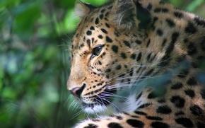 Картинка усы, морда, блики, отдых, леопард, профиль