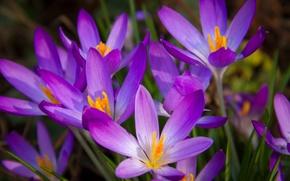 Обои крокусы, макро, лепестки, весна