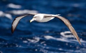 Картинка вода, полет, крылья, Птица, альбатрос