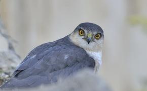 Картинка взгляд, серый, фон, птица, хищник, ястреб, Перепелятник