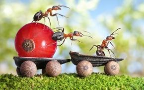 Картинка макро, насекомые, мох, ситуация, муравьи, колеса, водитель, тележка, скорлупа, смородина, перевозка, обои от lolita777