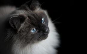 Картинка глаза, кот, взгляд, кошак