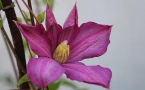 Картинка цветок, фиолетовый, лепестки, деревня