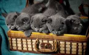 Картинка малыши, котята, британцы, Британская короткошёрстная, чемодан
