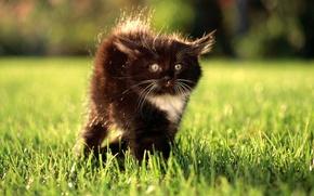 Обои взгляд, удивление, лужайка, котенок, трава, глаза
