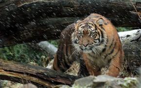 Картинка взгляд, морда, хищник, суматранский тигр