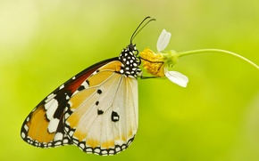 Обои цветок, бабочка, растение, крылья, мотылек