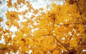 Картинка осень, деревья, клён, золотая осень, боке.