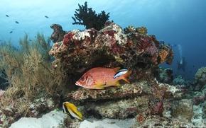 Картинка рыба, кораллы, морское дно, голубая вода