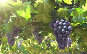 Картинка арт, солнце, виноград, гроздь, лоза, листья