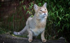 Картинка кот, дикий, камышовый, Jungle Cat