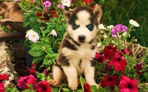 Картинка взгляд, цветы, Собака, щенок, злой, art, синии глаза