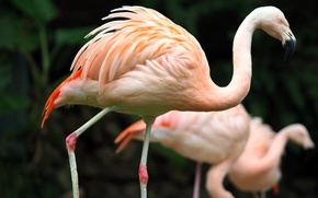 Картинка bird, zoo, kaohsiung, taiwan, greater flamingo