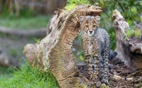 Картинка кошка, трава, гепард, коряга, детёныш, котёнок, ©Tambako The Jaguar