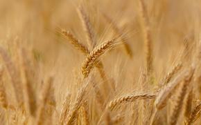 Картинка пшеница, поле, макро, фон, widescreen, обои, рожь, колоски, wallpaper, колосья, широкоформатные, background, колосок, полноэкранные, HD …