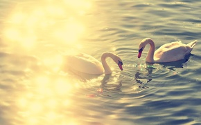 Картинка птицы, озеро, swan, лебеди, lake, animal