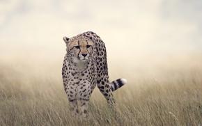 Картинка трава, гепард, боке