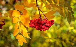Обои осень, листья, ягоды, краски, ветка, рябина