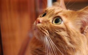 Картинка кот, усы, взгляд, новый год, рождество, Кошки, рыжий, подарки, Дед Мороз, курильский бобтейл